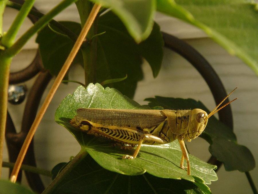 Grasshopper Photograph - Grasshopper by John Julio