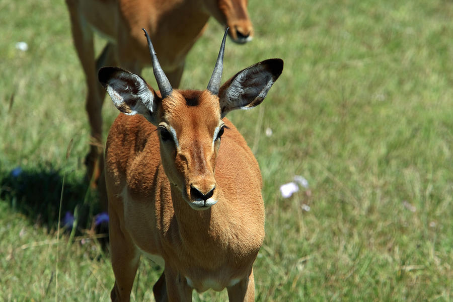 Deer Photograph - Grassland Deer by Aidan Moran