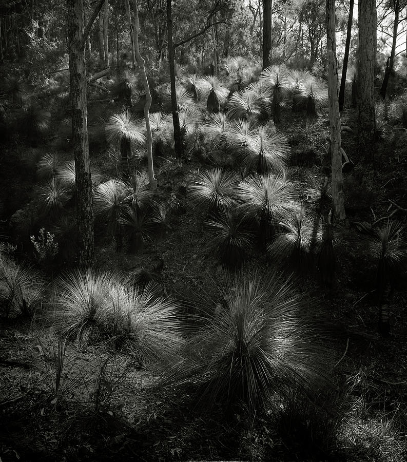 Photograph Photograph - Grasstrees by Bruce Cowell