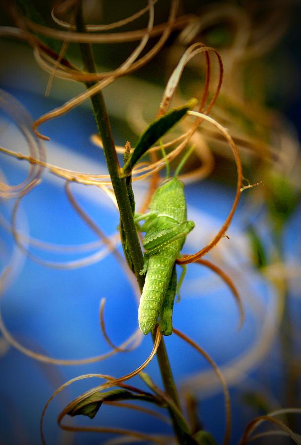 Grasshopper Photograph - Grassy Hopper by Chris Brannen