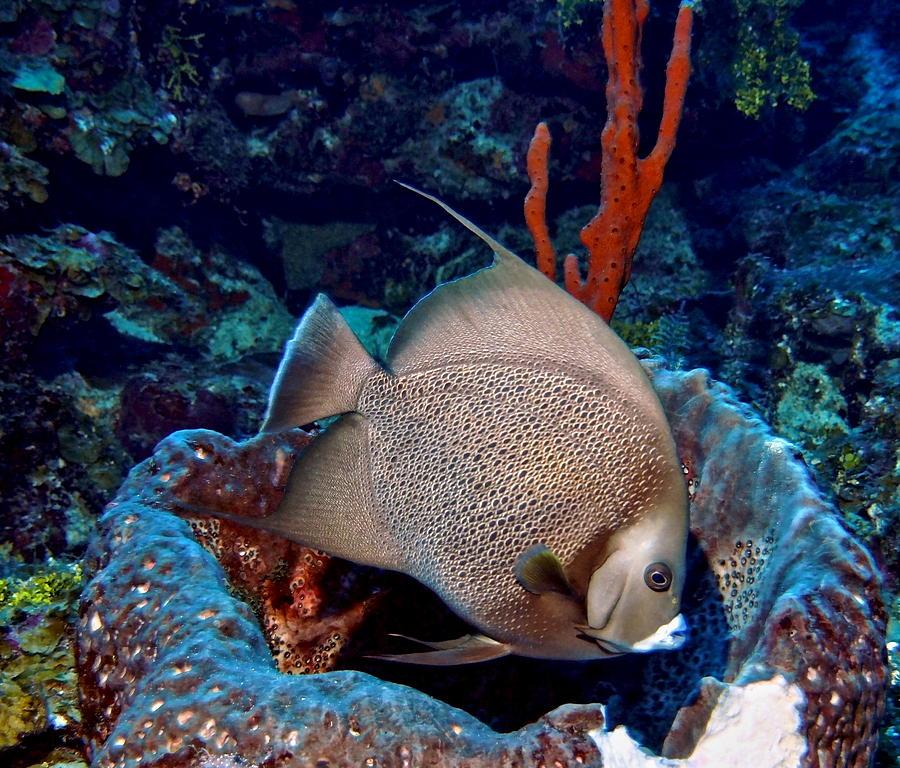 Gray Angel Fish And Sponge Photograph