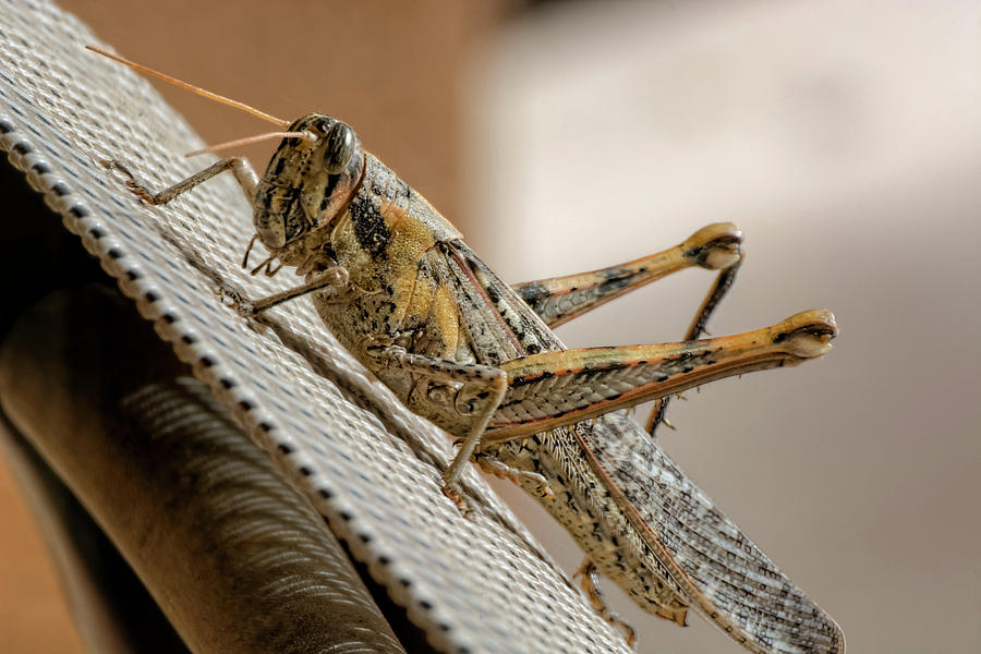 Gray Bird Grasshopper H1720 Photograph