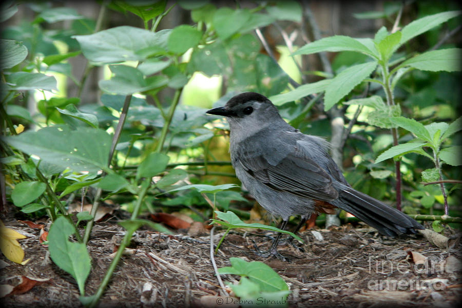 Bird Photograph - Gray Catbird by Debra Straub