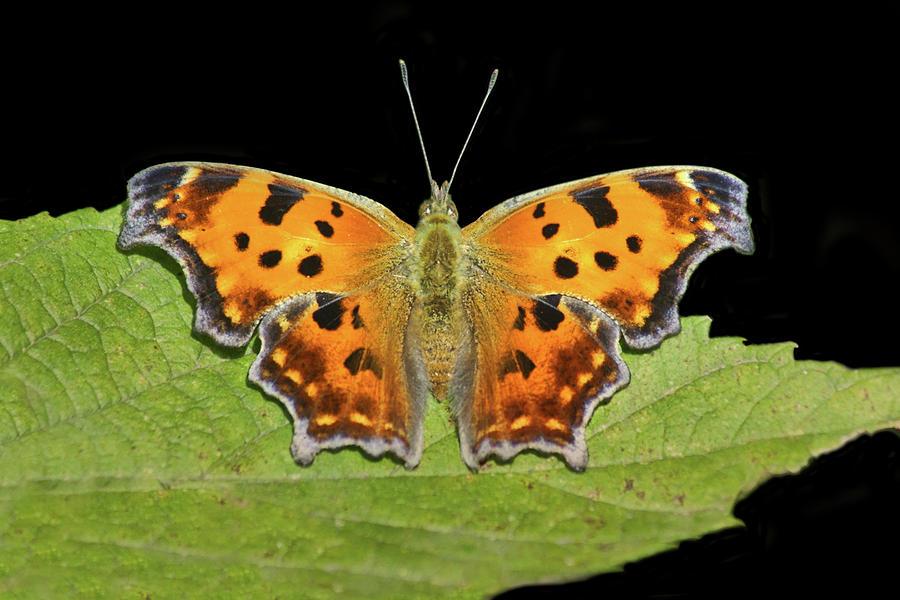 Butterfly Photograph - Eastern Comma - Butterfly by Nikolyn McDonald