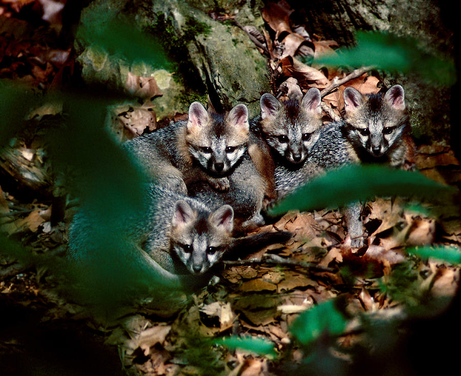 Wildlife Photograph - Gray Fox Kits by Lloyd Grotjan