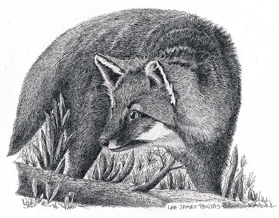 Fox Drawing - Gray Fox by Lee Pantas