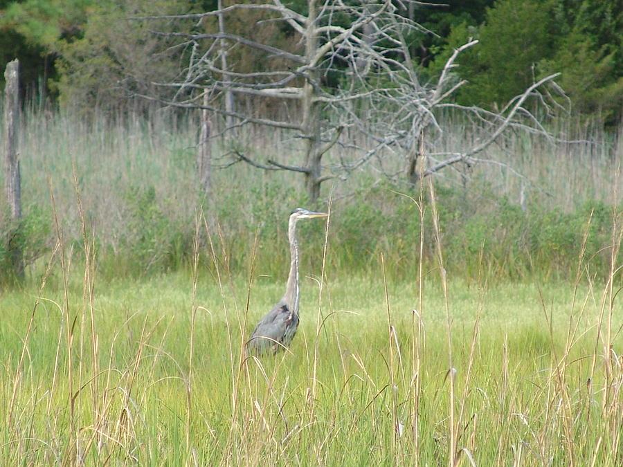 Bird Photograph - Gray Ghost by Kevin Callahan
