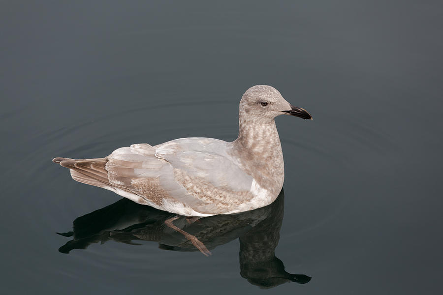 Seagull Photograph - Gray Gull Reflection by John Daly