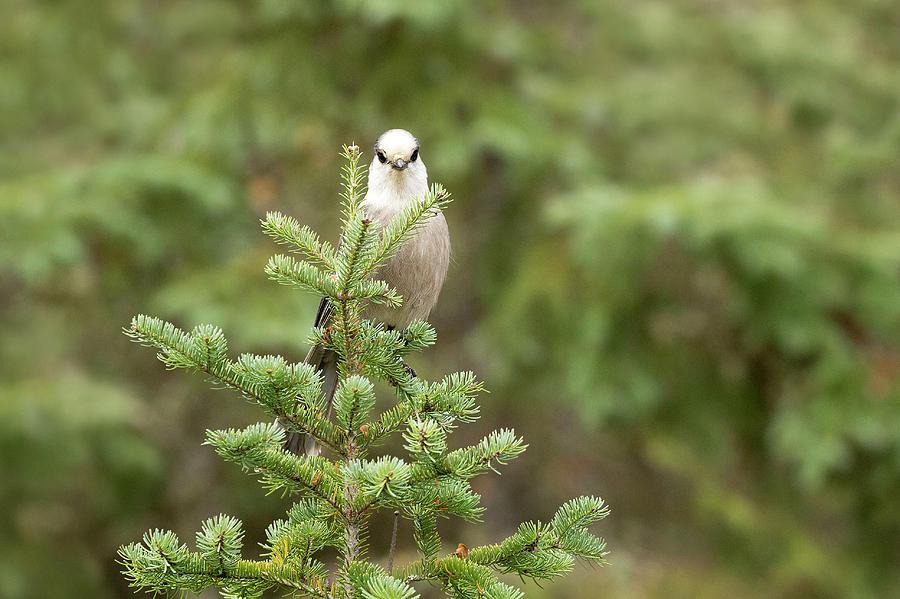Bird Photograph - Gray Jay by Martina Schneider