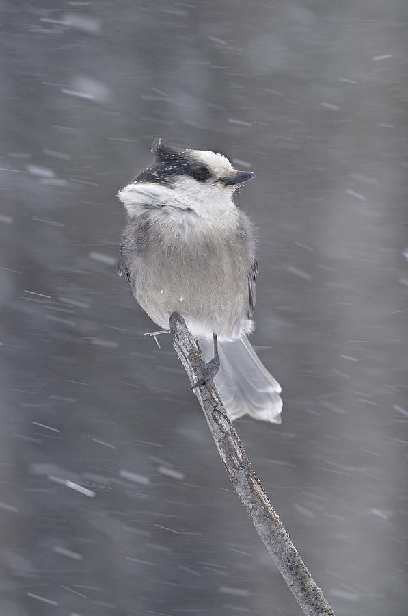 Bird Photograph - Gray Jay by Philippe Francis