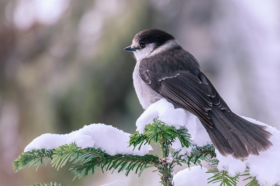 Bird Photograph - Gray Jay by Windy Corduroy