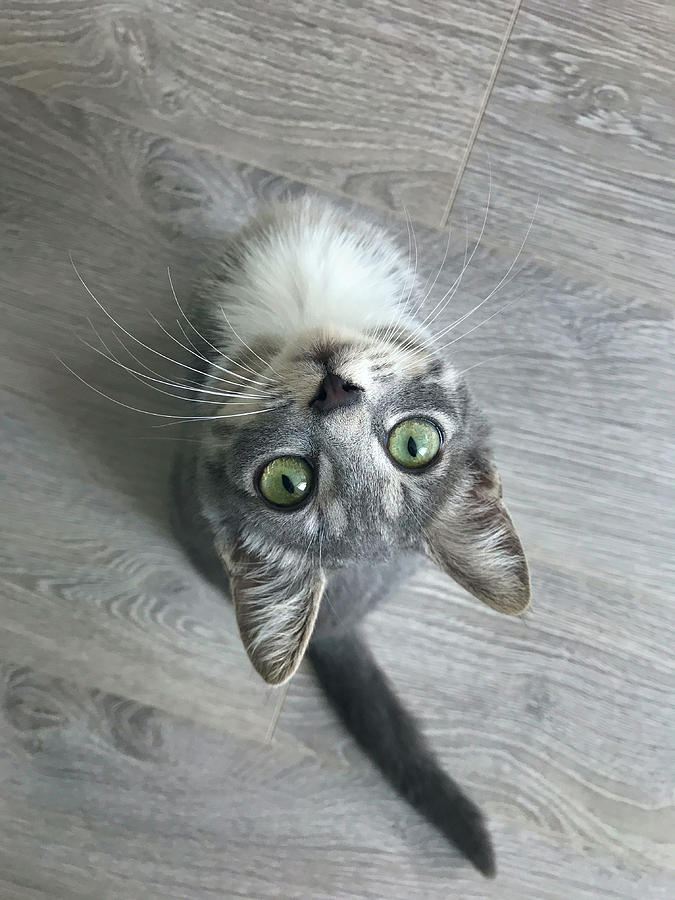 Gray Kitten With Green Eyes Upside Down Looking Up Against The G Photograph
