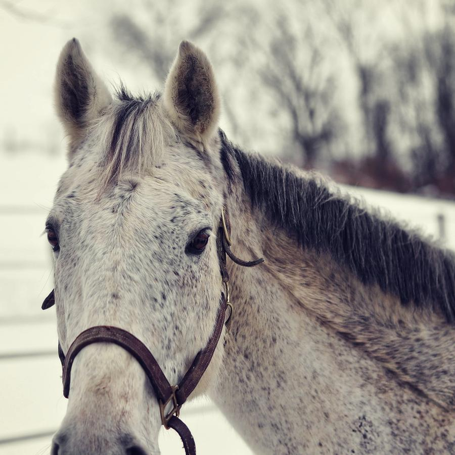 Horse Photograph - Gray On Winter White by JAMART Photography