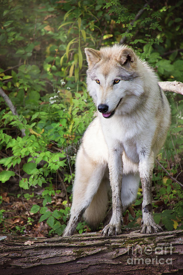 gray timber wolf photograph by sharon mcconnell