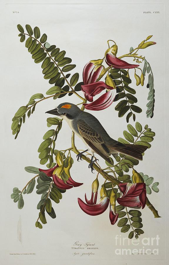 Birds Painting - Gray Tyrant by John James Audubon