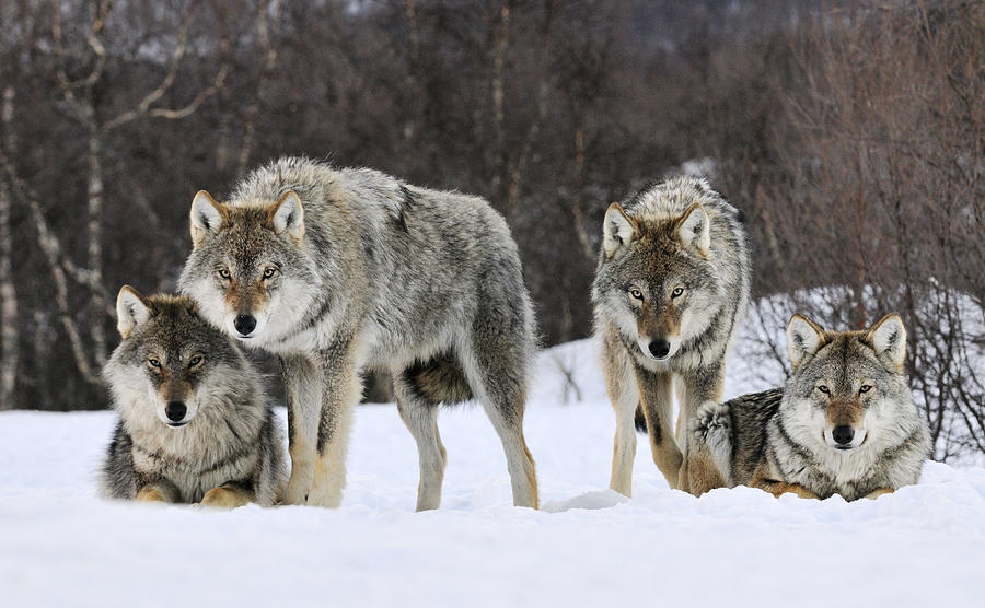 Mp Photograph - Gray Wolves Norway by Jasper Doest