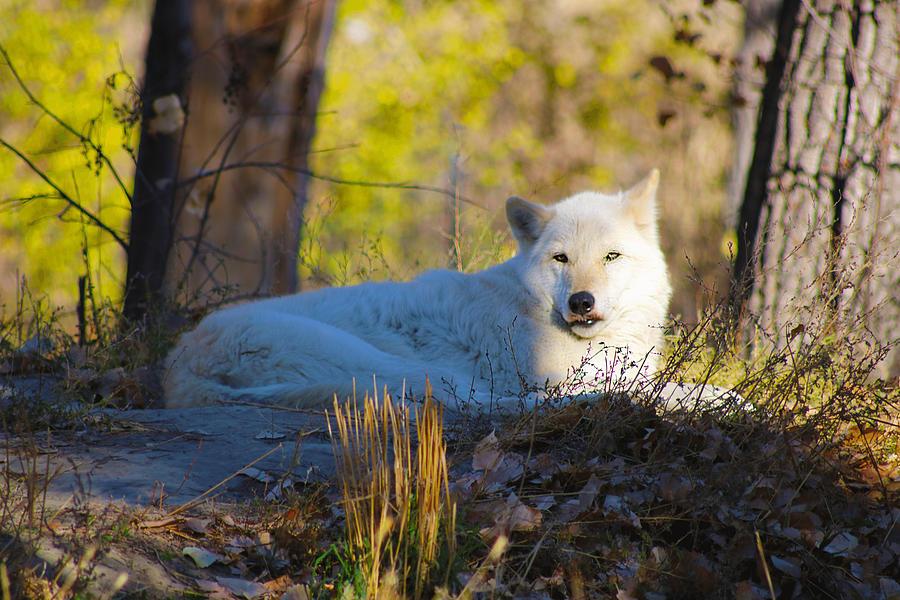 Gray Wolf Photograph by Christina Valentine