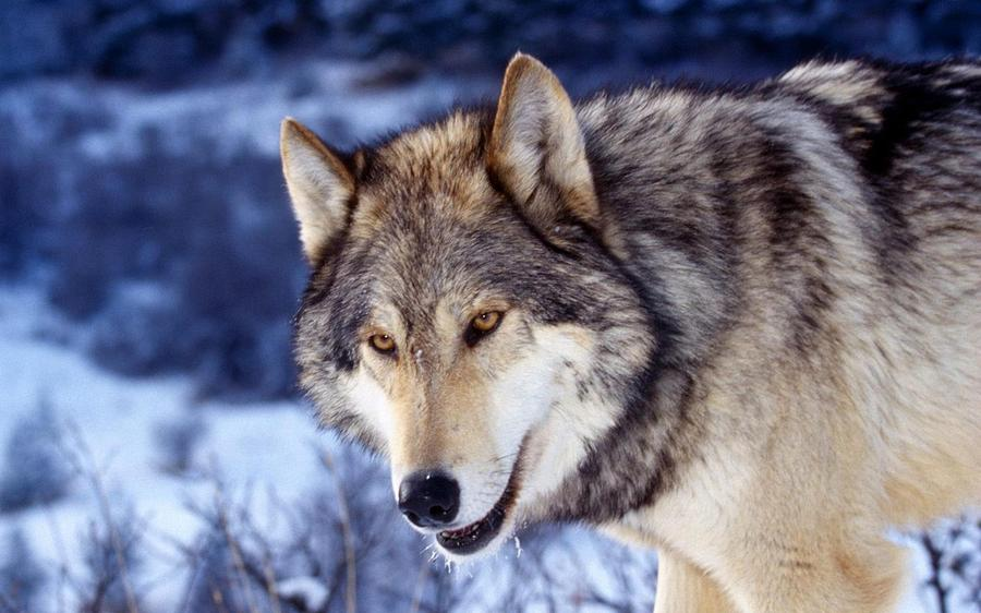 Gray Wolf Digital Art - Gray Wolf by Dorothy Binder