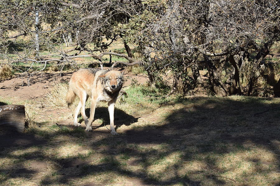 Gray Wolf On The Trail Photograph