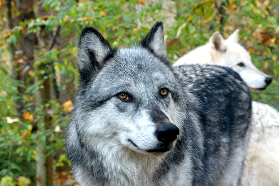 Wildlife Photograph - gray Wolf Pair by Larry Allan