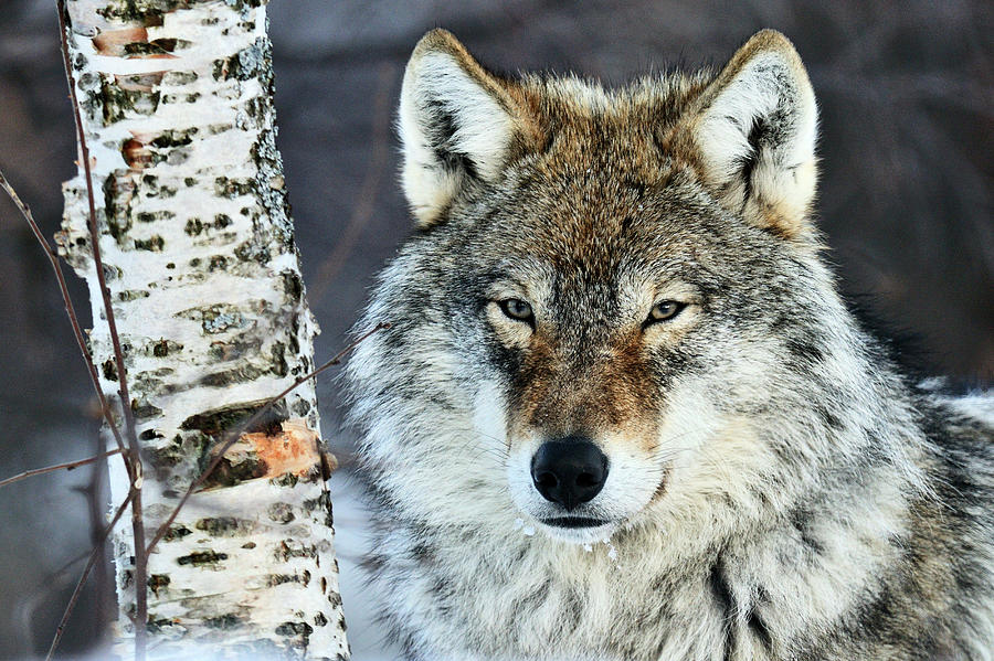 Gray Wolf Portrait by Jasper Doest
