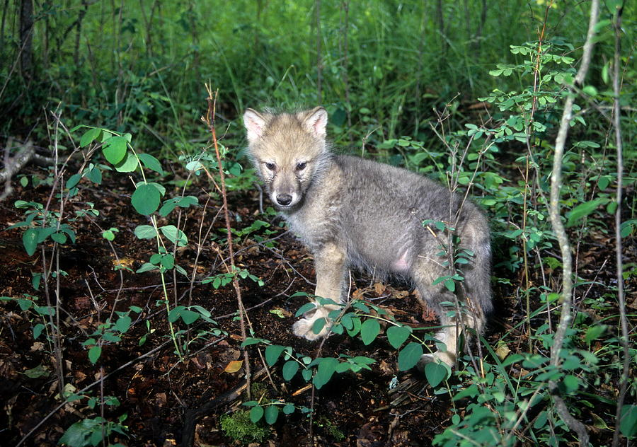 Wildlife Photograph - gray Wolf Pup in Woods by Larry Allan