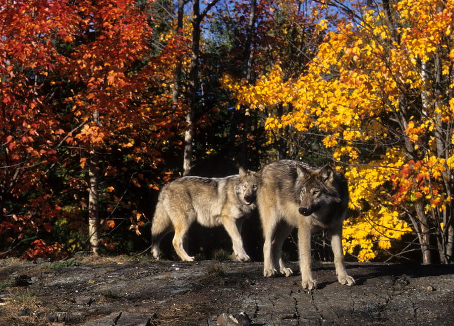 Wildlife Photograph - Gray Wolves In Autumn by Larry Allan