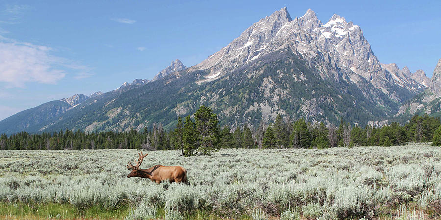 Grazing Elk in Grand Teton National Park by David Lyle
