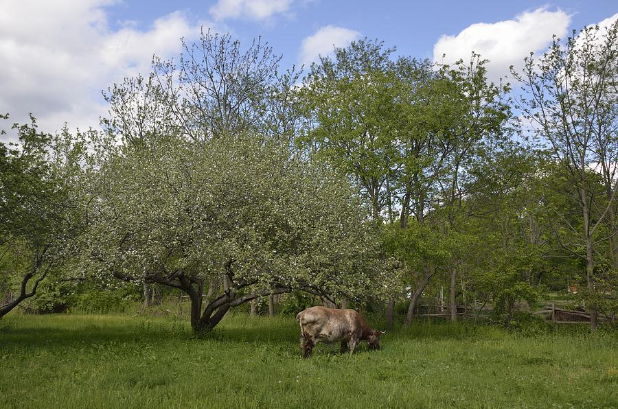 Bull Photograph - Grazing by Linda C Johnson