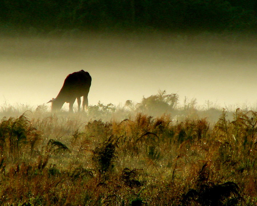 Cow Photograph - Grazing On A Misty Morning by Kimberly Camacho