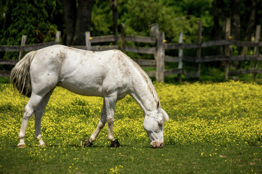 Grazing White Horse by Ron Pate