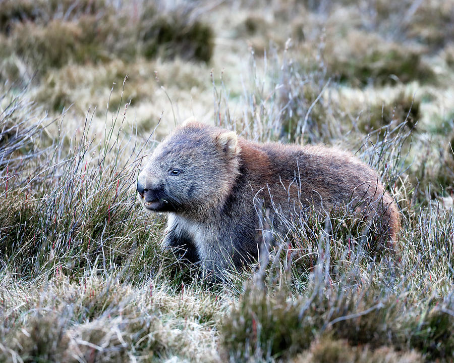 Wombat Photograph - Grazing Wombat by Nicholas Blackwell