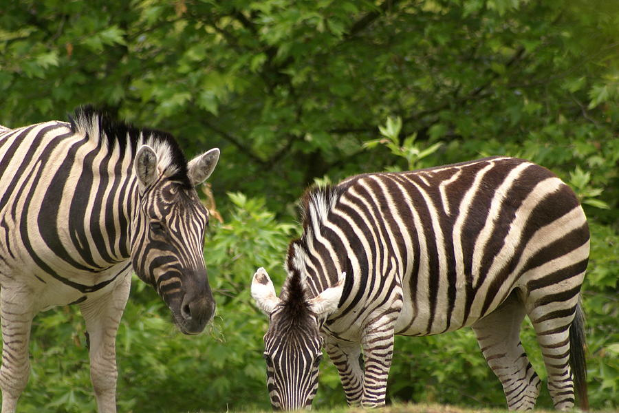 Animal Photograph - Grazing Zebras by Sonja Anderson