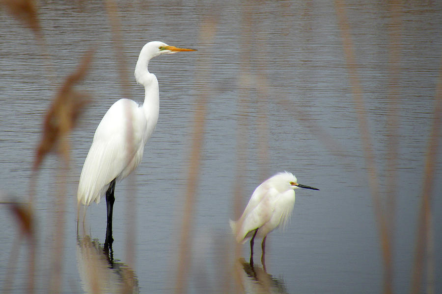 Egret Photograph - Great And Snowy Egret by Donald Cameron