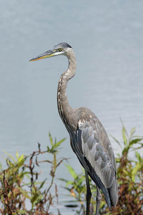 Great Blue Heron #2 Photograph