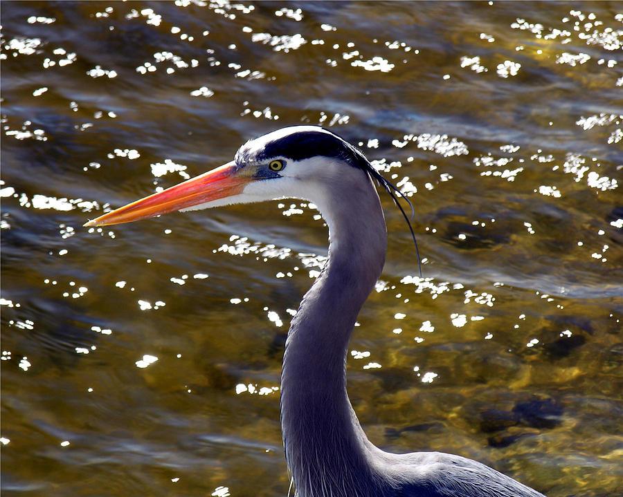Great Blue Heron  Photograph by Allan  Hughes
