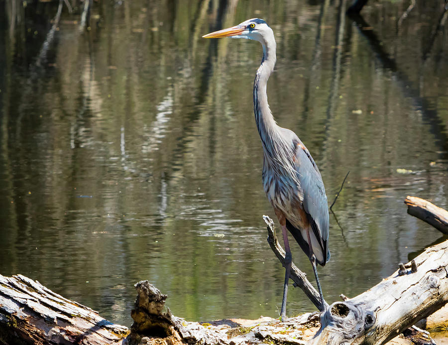 Great Blue Heron at Johnson Park by Ricky L Jones