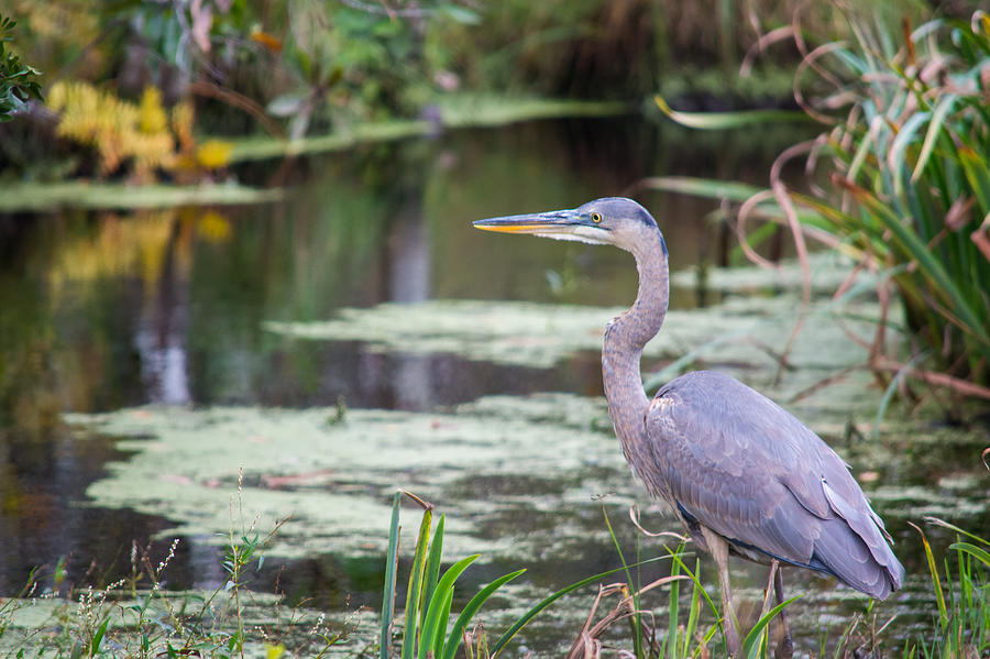 Great Blue Heron at the Refuge by Cyndi Goetcheus Sarfan