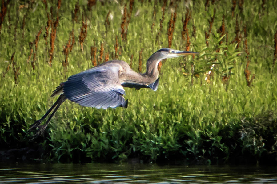 Birding Photograph - Great Blue Heron by Cathy Cooley
