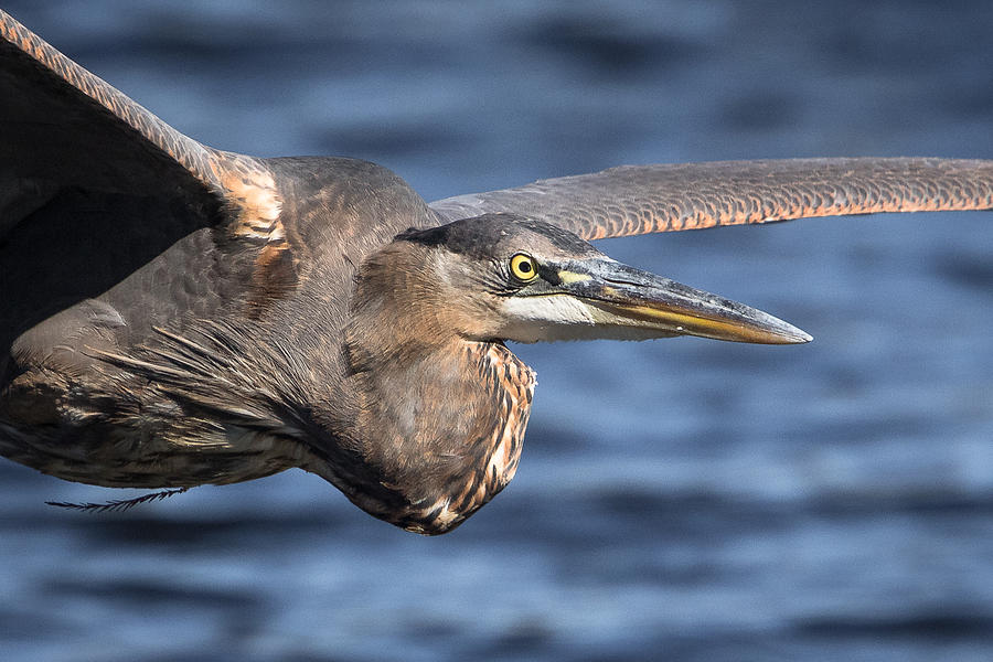 Greenfield Lake Photograph - Great Blue Heron Close-up by Kevin Giannini