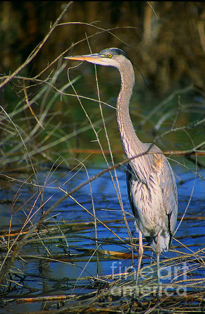 Heron Photograph - Great Blue Heron by Dennis Hammer