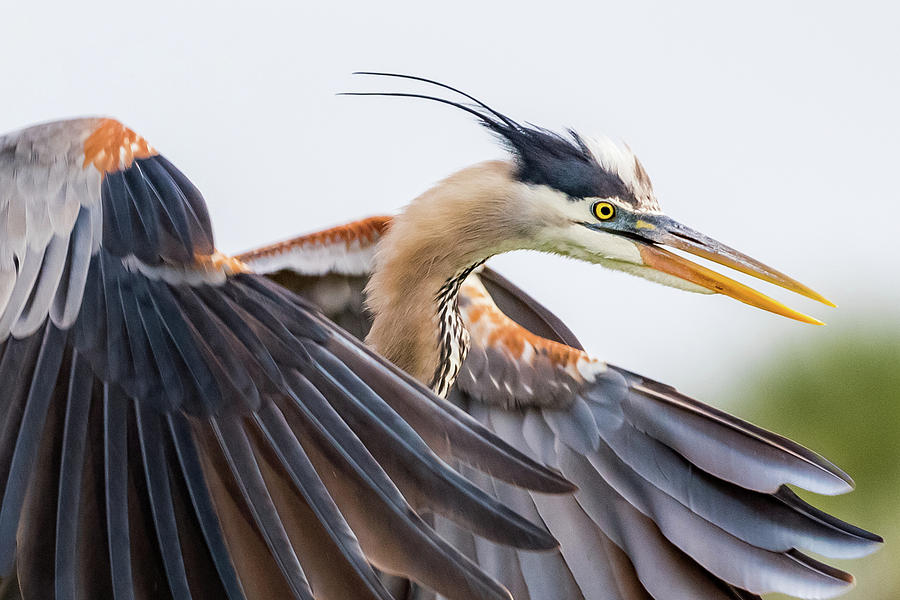 Birdwatching Photograph - Great Blue Heron by Don Miller