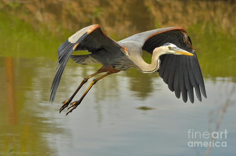 Great Blue Heron Photograph - Great Blue Heron Flying Across Lake by Merrimon Crawford