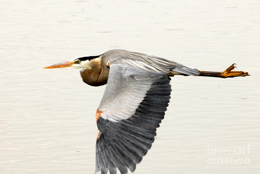 Bird Photograph - Great Blue Heron In Flight by Dennis Hammer