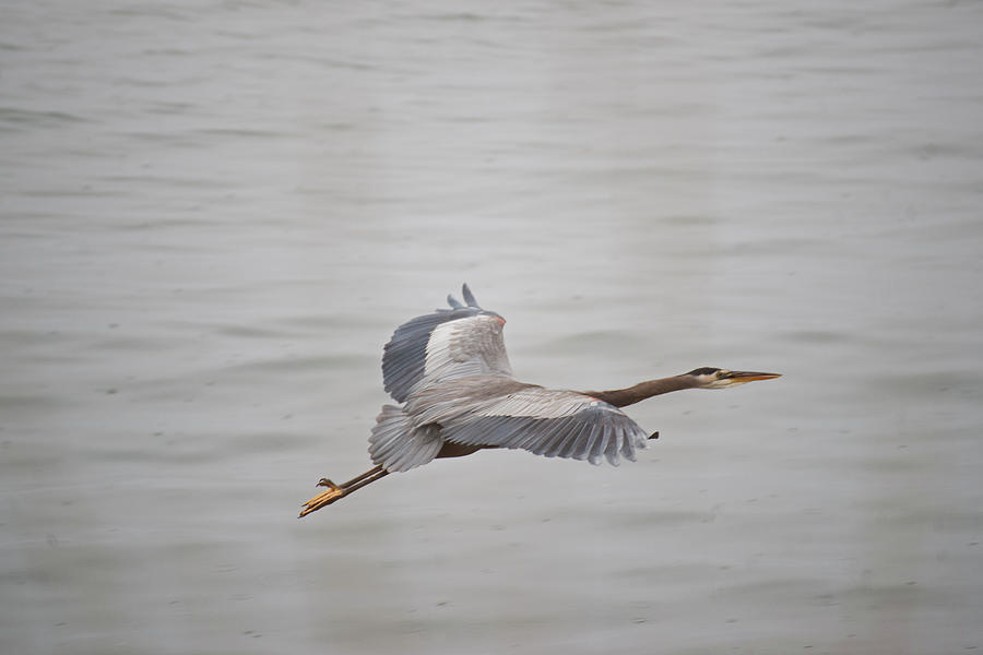 Blue Photograph - Great Blue Heron In Flight by Robert Braley