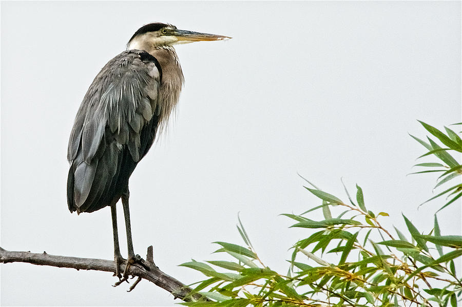 Nature Photograph - Great Blue Heron in the Rain by Zayne Diamond Photographic