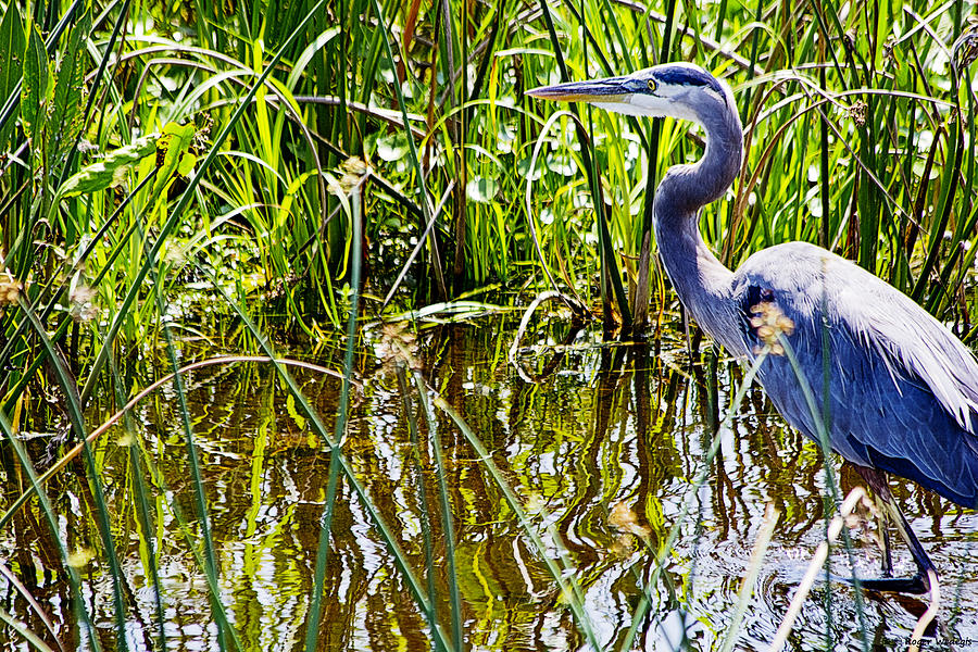 Great Blue Heron Photograph - Great Blue Heron In The Wetlands by Roger Wedegis