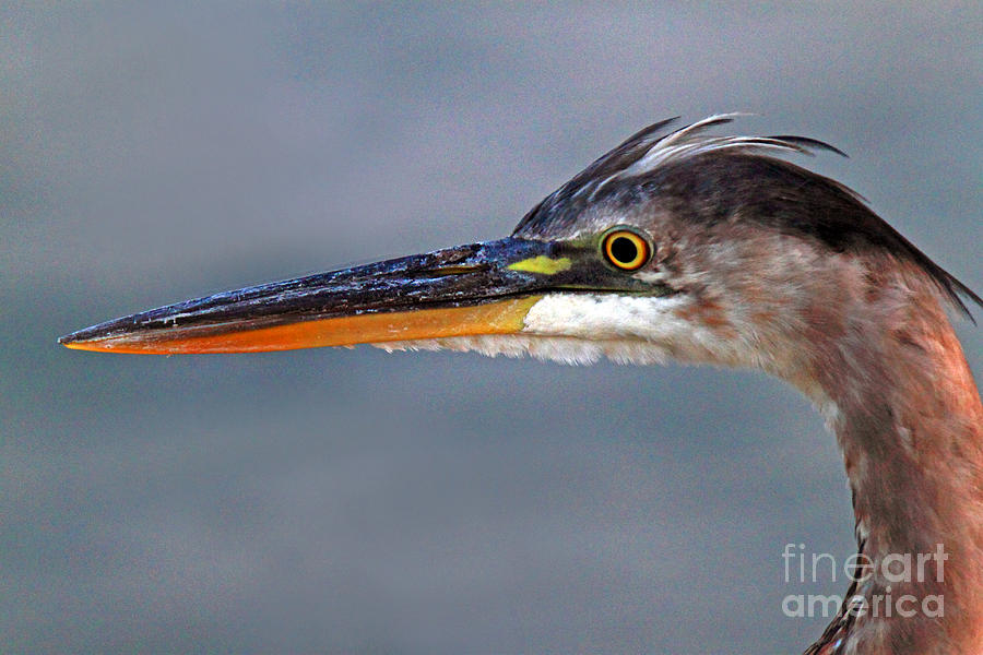 Bird Photograph - Great Blue Heron by Jim Beckwith