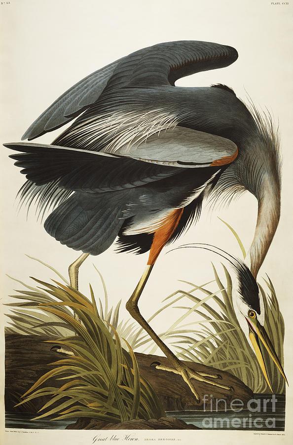 Great Blue Heron Drawing - Great Blue Heron by John James Audubon