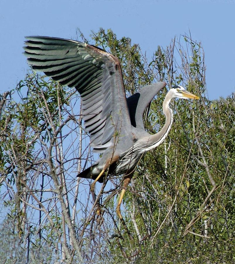 Great Blue Heron Landing On Tree by William Bitman